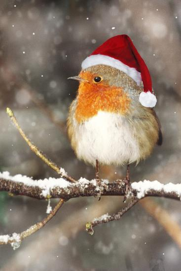 Robin in Falling Snow Wearing Christmas Hat--Photographic Print