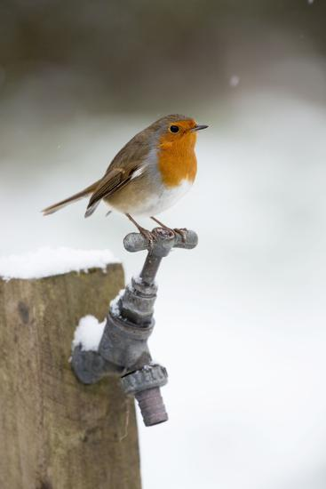 Robin in Snow on Garden Tap--Photographic Print