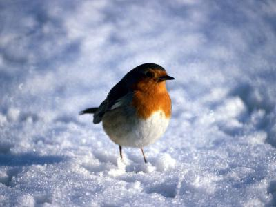 Robin in Snow--Photographic Print