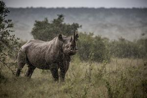 A black rhino stands in the pouring rain in Solio Rhino Sanctuary. by Robin Moore