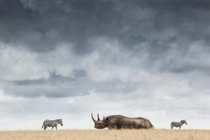 A Black Rhinoceros in Solio Rhino Sanctuary Bookended by Two Plains Zebras by Robin Moore