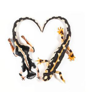 A Conservationist Body Painted with a Luristan Newt, Neuergus Kaiseri, in the Shape of a Heart by Robin Moore