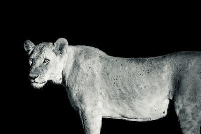 A Lioness, Panthera Leo, in Solio Rhino Sanctuary at Night