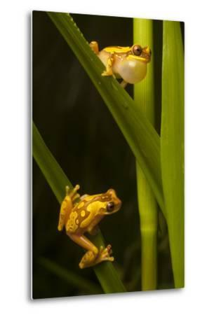 A Male Hourglass Tree Frog, Dendropsophus Ebraccatus, Calls to a Female on a Blade of Grass Below