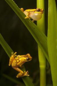 A Male Hourglass Tree Frog, Dendropsophus Ebraccatus, Calls to a Female on a Blade of Grass Below by Robin Moore