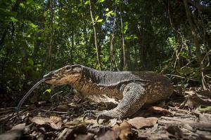 A Monitor Lizard, Varanus Palawanensis, Flicks its Forked Tongue by Robin Moore