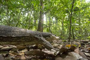 A Monitor Lizard, Varanus Palawanensis, Walking in the Forests of Palawan, the Philippines by Robin Moore