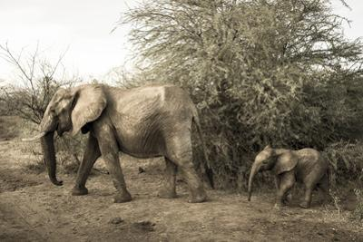 A Mother and Baby African Elephant, Loxodonta Africana, in Samburu National Reserve