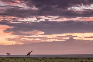 A Reticulated Giraffe strolls in front of Mount Kenya on the plains of Laikipia. by Robin Moore