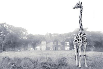 A Rothschild Giraffe in Front of Giraffe Manor on a Misty Morning by Robin Moore