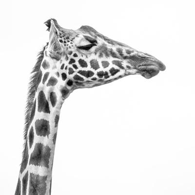 A Rothschild Giraffe with Eyes Closed at Giraffe Manor