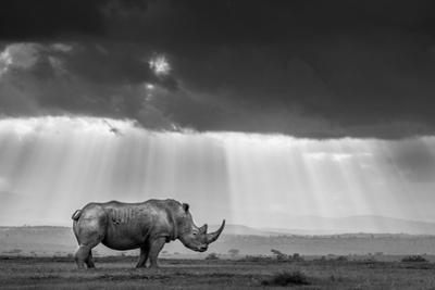 A southern white rhino is bathed in rays of evening light as clouds cloak the sinking sun by Robin Moore