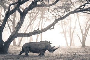 A Southern White Rhino moves through a mist-shrouded fever tree forest. by Robin Moore
