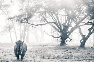 A southern white rhino stands in a mist-shrouded fever tree forest. by Robin Moore