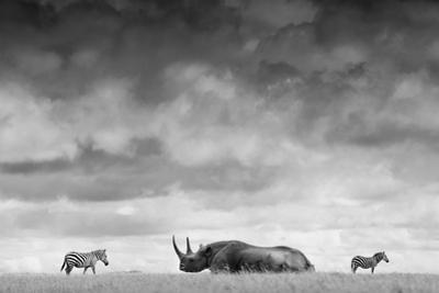 A White Rhino Lies in the Grass As Two Zebras Graze Behind