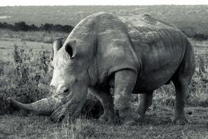A White Rhinoceros, Ceratotherium Simum, Grazing on Grass in Solio Rhino Sanctuary by Robin Moore