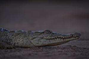 A Young Nile Crocodile, Crocodylus Niloticus, on Riverbed by Robin Moore