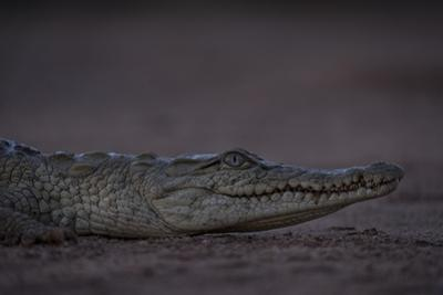 A Young Nile Crocodile, Crocodylus Niloticus, on Riverbed