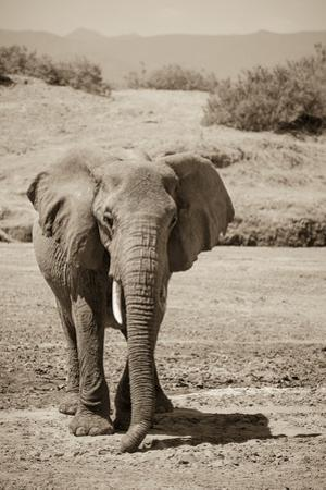 An African Elephant Crossing a Dry Riverbed in Samburu National Reserve