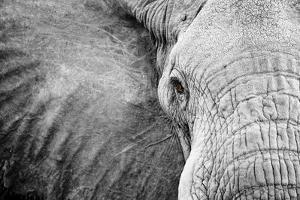 Close Up of An Elephant's Face by Robin Moore