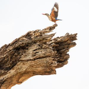 Grey-headed Kingfishers taking flight from a tree stump in Samburu National Reserve. by Robin Moore