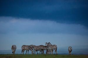 Plains zebras at dusk in Solio Rhino Sanctuary. by Robin Moore