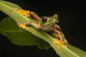 Portrait of a Gliding Tree Frog, Agalychnis Spurrelli, on a Leaf by Robin Moore