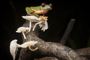 Portrait of a Gliding Tree Frog, Agalychnis Spurrelli, with Mushrooms by Robin Moore