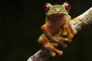 Portrait of a Gliding Tree Frog, Agalychnis Spurrelli by Robin Moore
