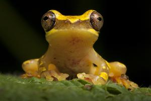 Portrait of a Hourglass Tree Frog, Dendropsophus Ebraccatus by Robin Moore