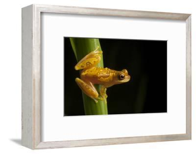 Portrait of a Hourglass Tree Frog, Dendropsophus Ebraccatus