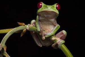 Portrait of a Red-Eyed Tree Frog, Agalychnis Calidryas by Robin Moore