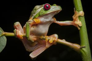 Portrait of Gliding Tree Frogs, Agalychnis Spurrelli, Mating by Robin Moore