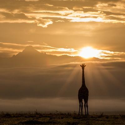 Reticulated Giraffe and sunrise over Mount Kenya.