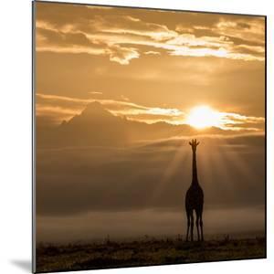 Reticulated Giraffe and sunrise over Mount Kenya. by Robin Moore
