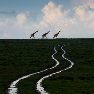 Reticulated giraffes at the end of water-filled ruts in Solio Rhino Sanctuary. by Robin Moore