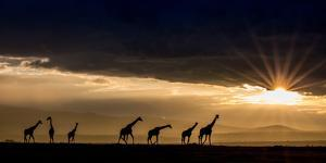 Reticulated Giraffes silhouetted as the sun pokes below a layer of clouds at sunset. by Robin Moore