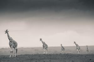 Reticulated Giraffes stroll across the plains of Solio Rhino Sanctuary. by Robin Moore