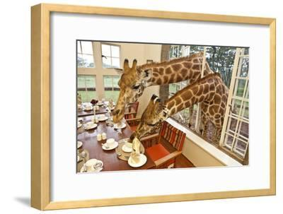 Rothschild Giraffes with Heads Through a Window, Eating From a Table