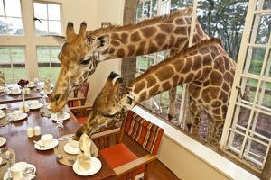 Rothschild Giraffes with Heads Through a Window, Eating From a Table by Robin Moore