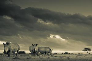 Three Southern White Rhinoceros, Ceratotherium Simum, under Clouds at Sunrise by Robin Moore