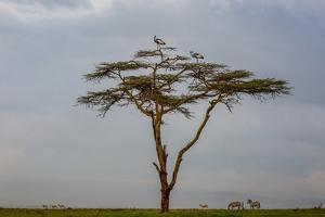 Two Crowned Cranes perch on an Acacia tree above plains zebra and Thompson's Gazelles by Robin Moore