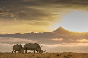 Two White Rhinoceros, Ceratotherium Simum, in Front of Mount Kenya at Sunrise by Robin Moore