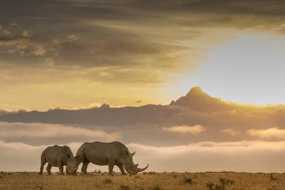 Two White Rhinoceros, Ceratotherium Simum, in Front of Mount Kenya at Sunrise