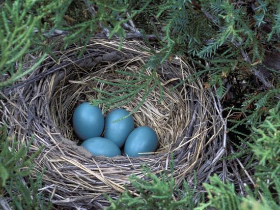 Robin Nest with Eggs, Turdus Migratorius, USA-David Cavagnaro-Photographic Print