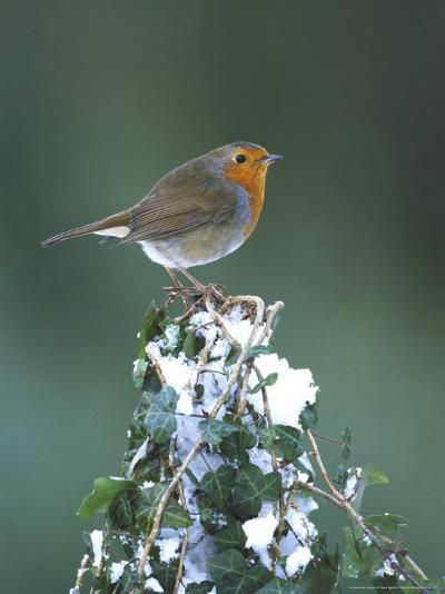 Robin on Ivy-Covered Stump in Snow, UK-Mark Hamblin-Photographic Print