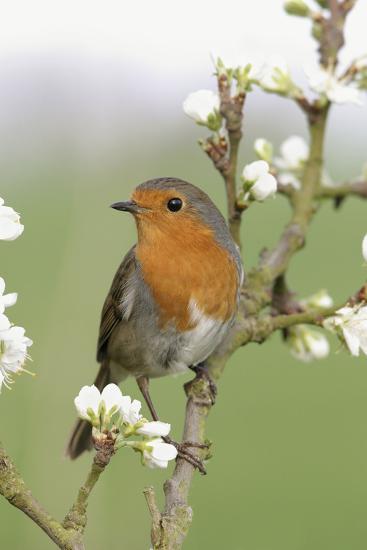 Robin on Plum Blossom--Photographic Print