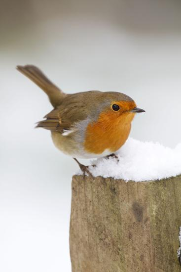 Robin on Post in Snow--Photographic Print
