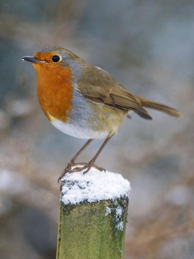 Robin on Post--Photographic Print