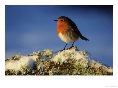 Robin, Perched on Branch in Snow, Scotland, UK-Mark Hamblin-Photographic Print